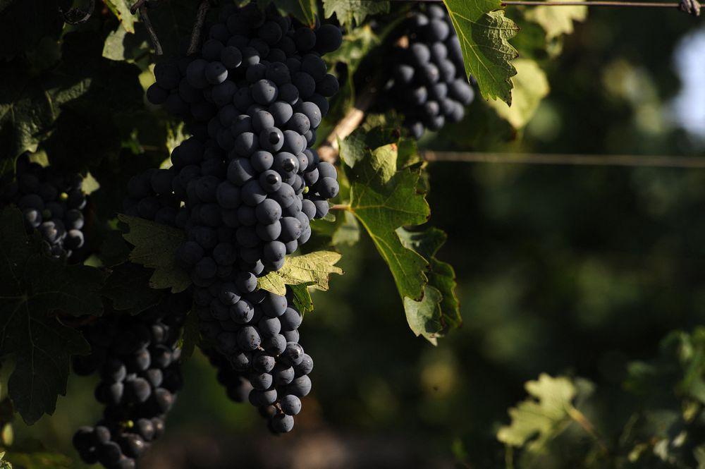 La pandemia le sienta bien al vino argentino, pero las bodegas están lejos de celebrar